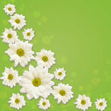 Daisy flowers arrangement. On green background Stock Photos