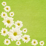 Daisy flowers arrangement Royalty Free Stock Images