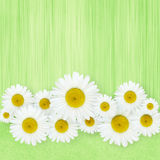 Daisy flowers arrangement Royalty Free Stock Image