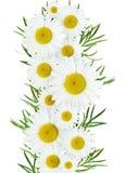 Daisy flowers arrangement Royalty Free Stock Photo