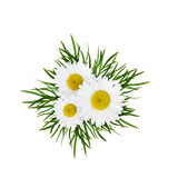 Daisy flowers arrangement Stock Images