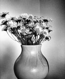 Daisy flowers. Artistic look in black and white. Stock Image