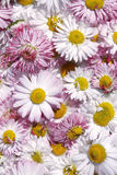 Daisy flowers background Stock Photos