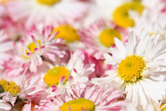 Daisy flowers background Royalty Free Stock Image