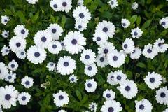 Daisy flowers background Royalty Free Stock Photo