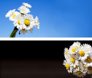 Daisy flowers  background collection. Useful also as web banner or header Royalty Free Stock Photos