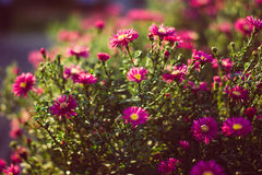 Daisy flowers. Background of colorful purple, pink and white oxeye daisy flowers in bloom sunset colorful back lit Royalty Free Stock Image