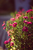 Daisy flowers. Background of colorful purple, pink and white oxeye daisy flowers in bloom sunset colorful back lit Stock Images