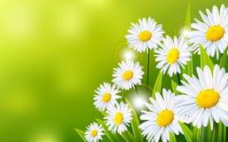 Daisy flowers background Stock Photo