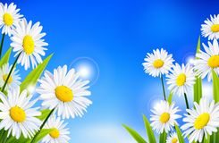 Daisy flowers background for you design. Illustration of daisy flowers background for you design Royalty Free Stock Photography