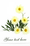 Daisy flowers banner Royalty Free Stock Images