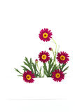 Daisy flowers banner Royalty Free Stock Image
