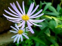 Daisy flowers stock photos