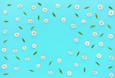 Daisy Flowers, Bellis-perennis, op Turkooise Achtergrond Stock Foto's