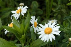 Daisy Flowers - Bellis perennis royalty free stock photography