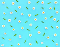 Daisy Flowers, Bellis perennis, on Turquoise as Background Royalty Free Stock Photos