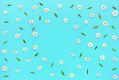 Daisy Flowers, Bellis perennis, on Turquoise Background Stock Photos