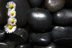 Daisy flowers on black stones Stock Images