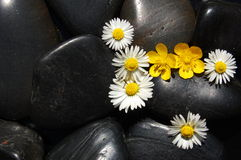 Daisy flowers on black stones. Happy daisy flowers on black stone background showing health and wellness concept Royalty Free Stock Photography