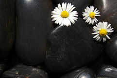 Daisy flowers on black stones. Happy daisy flowers on black stone background showing health and wellness concept Stock Image