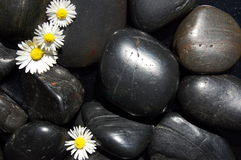 Daisy flowers on black stones Royalty Free Stock Photo