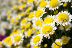 Daisy flowers in bloom. Closeup of yellow and white daisy flowers in bloom Stock Photography
