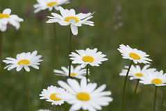 Daisy flowers in bloom Royalty Free Stock Images