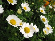 Daisy flowers in bloom. Yellow and white daisy flowers in bloom with green nature background Stock Image