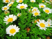 Daisy flowers in bloom royalty free stock photo