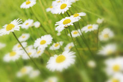 Daisy flowers in bloom Royalty Free Stock Photography