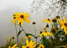 Daisies in Eau Claire, Wisconsin. Daisy flowers blooming in fog along banks of Eau Claire River in Eau Claire, Wisconsin Royalty Free Stock Image