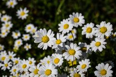 Daisy flowers blooming in garden Royalty Free Stock Photo