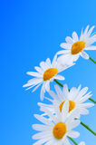 Daisy flowers on blue background royalty free stock images