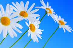 Daisy flowers on blue background Royalty Free Stock Image