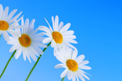 Daisy flowers on blue background Stock Images