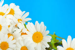 Daisy flowers on a blue background Stock Images