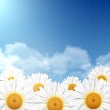 Daisy flowers with a blue sky Royalty Free Stock Photography