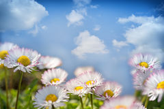Daisy flowers and blue sky Royalty Free Stock Image