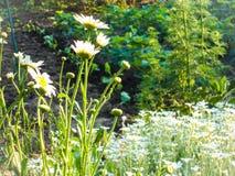 Daisy flowers border Stock Photo