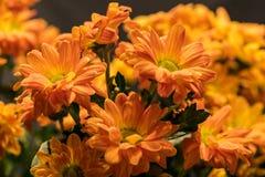 Daisy flowers bouquet chrysanthemum Stock Image