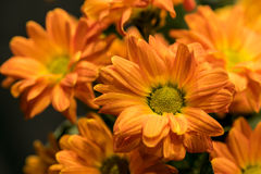 Daisy flowers bouquet chrysanthemum Royalty Free Stock Photography