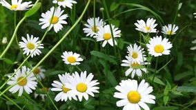 Daisy flowers in breezy day stock footage