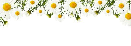 Daisy flowers and buds in a border. Arrangement isolated on white background royalty free stock images