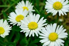 Daisy flowers close up. Daisy flowers in full bloom Royalty Free Stock Image