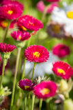 Daisy flowers. Close up of a red Bellis Perennis, English Daisy stock image