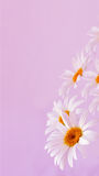 Daisy flowers close up with water drops Royalty Free Stock Photo