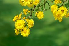 Daisy flowers. The close-up of yellow daisy flowers royalty free stock photos