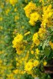 Daisy flowers. The close-up of yellow daisy flowers stock photos