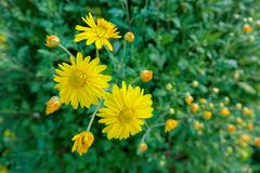 Daisy flowers. The close-up of yellow daisy flowers stock images