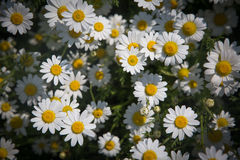 Daisy flowers. Closeup of beautiful white daisy flowers in the summer harsh light royalty free stock image